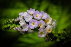 Indicum Heliotropium Στοκ φωτογραφία με δικαίωμα ελεύθερης χρήσης