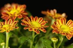 Indicum indien de chrysanthème de chrysanthème Image stock