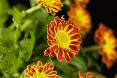 Indicum indien de chrysanthème de chrysanthème Photographie stock
