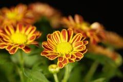 Indicum indien de chrysanthème de chrysanthème Photo stock