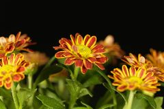 Indicum indien de chrysanthème de chrysanthème Photo libre de droits