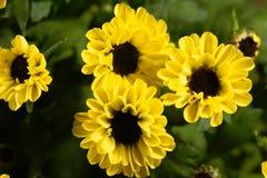 Indicum indien de chrysanthème de hybride de chrysanthème Photos libres de droits