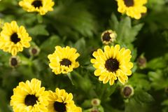 Indicum indien de chrysanthème de hybride de chrysanthème Image stock