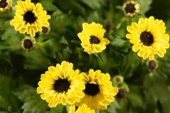 Indicum indien de chrysanthème de hybride de chrysanthème Images libres de droits