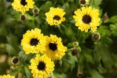 Indicum indien de chrysanthème de hybride de chrysanthème Photo stock
