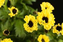 Indicum indien de chrysanthème de hybride de chrysanthème Photographie stock libre de droits