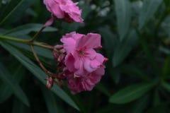 Indicummolen van Nerium oleander-Nerium stock foto