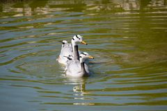 Indicus à tête de barre d'Anser de l'oie deux Natation dans l'eau Image stock