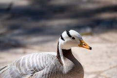 indicus à tête de barre d'Anser d'oie Animal sauvage de la vie Photographie stock
