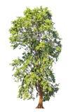 Indicus de Pterocarpus connu par plusieurs noms communs, y compris Amb photo libre de droits