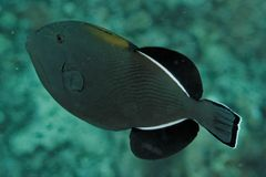 Indicus di Melichtys - mare di Andaman immagine stock libera da diritti