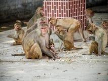 Indien: Babyaffe mit ihm Familie im heiligen Tempel Lizenzfreie Stockbilder