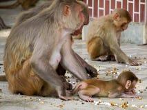 Indien: Babyaffe mit ihm Familie im heiligen Tempel Lizenzfreie Stockfotos