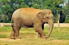 Indien d'éléphant Photos libres de droits
