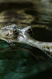 Indien gavial de gavialis de gangeticus Images libres de droits