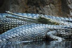 Indien gavial de gavialis de gangeticus Images stock