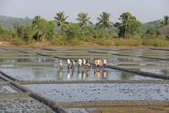 Indien GOA, 03 Februari 2018 Indiska arbetare plogar fältet med skyfflar och reflekteras i vattnet Tungt manuellt arbete in fotografering för bildbyråer