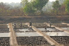 Indien GOA, Januari 19, 2018 Män arbetar i fältet, gräver eller plogar jorden med skyfflar Tungt manuellt arbete i Indien Rice sä arkivbilder
