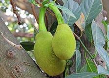 Indien Jack Fruits Photographie stock libre de droits