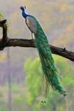 Indien peafowl Royaltyfria Bilder