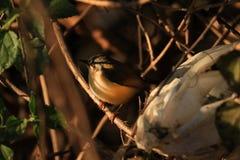 Indien Robin Bird photos libres de droits