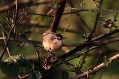 Indien Robin Bird images stock