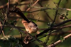 Indien Robin Bird photos stock