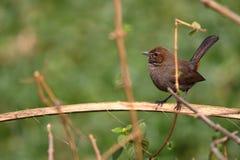 Indien Robin Bird photo libre de droits