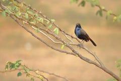 Indien Robin Bird images libres de droits