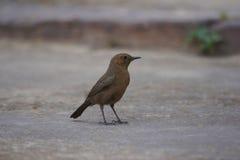 Indien Robin, fulicatus de Copsychus, réserve naturelle de Tipeshwar, maharashtra photos libres de droits