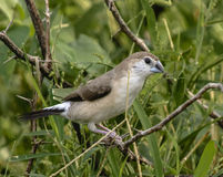 Indien Silverbill image stock