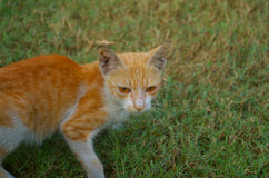 Indier Cat Animal Royaltyfri Foto