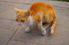 Indier Cat Animal Fotografering för Bildbyråer
