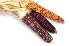indier corn1 Royaltyfria Bilder