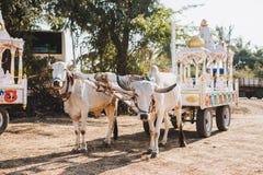 Indier dekorerad tjur för den Sankranthi festivalen royaltyfria foton