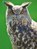 Indier Eagle Owl Royaltyfri Bild