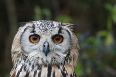 Indier Eagle Owl Royaltyfria Foton