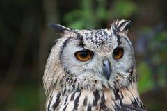 Indier Eagle Owl arkivfoto