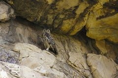 Indier Eagle Owl, Bubobengalensis Bera Rajasthan, Indien arkivfoto