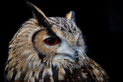 Indier Eagle Owl With Red Eyes Royaltyfri Bild