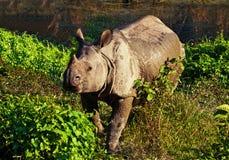 Indier en horned noshörning royaltyfri foto
