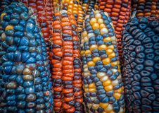 Indier färgad havrebakgrund royaltyfri bild