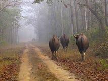 Indier Gaur, Kanha Tiger Reserve, Madhya Pradesh, Indien royaltyfri fotografi