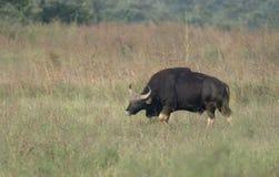 Indier Gaur som betar i grässlätt på Tadoba Andhari Tiger Reserve Royaltyfria Foton