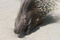 Indier krönad Porcupine Royaltyfria Foton