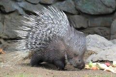 Indier krönad porcupine Arkivbilder