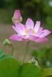 Indier Lotus eller sakrala Lotus royaltyfri fotografi