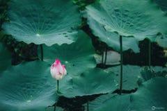 Indier Lotus, sakrala Lotus royaltyfri bild
