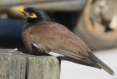 Indier Myna Bird royaltyfri bild
