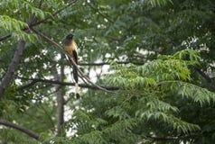 Indier Roufus Treepie royaltyfria foton